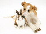 Lurcher Sniffing Fawn Dutch Rabbit