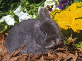 Netherland Dwarf Rabbit, Amongst Flowers, USA