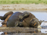 Black Rhinoceros, Wallowing and Rolling in Mud, Etosha National Park, Namibia