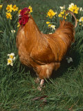 Domestic Chicken, Amongst Daffodils, USA