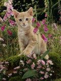 Domestic Cat, Cream Burmese-Cross Cat Among Foxgloves