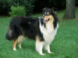 Outdoor Portrait of Collie Dog
