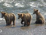 Three Grizzly Bear, Cubs (2-Year) Salmon Brooks River, Katmai National Park, Alaska, USA