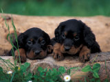 Domestic Dogs, Two Gordon Setter Puppies Resting on Log