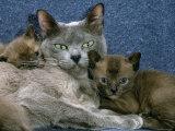 Domestic Cat, Blue Burmese with 4-Week Brown Burmese Kittens