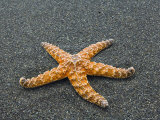 Ochre Seastar, Exposed on Beach at Low Tide, Olympic National Park, Washington, USA