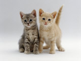 Domestic Cat, Tabby and Cream Kittens