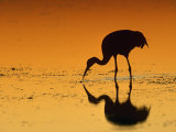 Sandhill Crane, Feeding at Sunset, Florida, USA