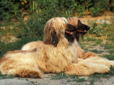 Domestic Dogs, Two Afghan Hounds Lying Side by Side