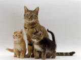 Domestic Cat, with Two of Her 6-Week Kittens