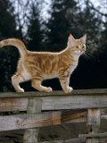 Domestic Cat, Ginger Kitten on Fence