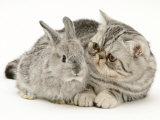 Silver Exotic Kitten Looking Inquisitively at Silver Baby Rabbit
