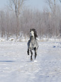 Grey Andalusian Stallion Cantering in Snow, Longmont, Colorado, USA