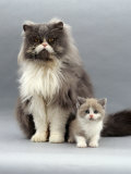 Domestic Cat, Blue Bicolour Persian Male with His 7-Week Lilac Bicolour Kitten