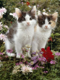 Domestic Cat, 9-Week, Black-And-White Kittens Among Flowers