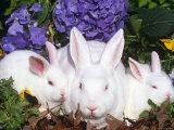 Domestic New Zealand Rabbits, Amongst Hydrangeas, USA
