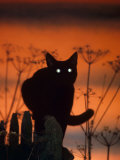 Black Domestic Cat, Silhoutte at Sunset with Eyes Reflecting Light