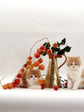 Domestic Cat, Two Fluffy Ginger-And-White Kittens with Chinese Lanterns in Brass Jug