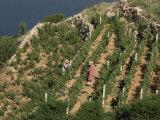 Vineyard, Dalmatian Coast, Croatia