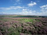 Heather on the Moors, North Yorkshire, England, United Kingdom
