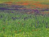Spring Meadow, Near Ciudad Real, Castile La Mancha, Spain