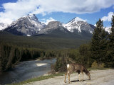 Mule Deer, Bow Valley Parkway by the Bow River, Near Lake Louise, Unesco World Heritage Site