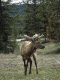 Elk or Wapiti (Cervus Elaphus), Bow Valley Parkway, Near Lake Louise, Rocky Mountains
