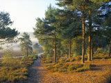 Scots Pine Trees Just after Sunrise in Autumn, Frensham Little Pond, Frensham Common, Surrey