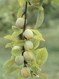 Mirabelle Plum Harvest, Hattonville Region, Meuse, Lorraine, France
