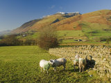 Saddleback, Four Grazing Sheep, Lake Distict, Cumbria, England, United Kingdom