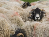 Ewes at Haresceugh Castle, Pennines, Cumbria, England, United Kingdom