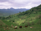 Salers Cows in Pastures, Cantal Mountains, Auvergne, France