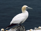 Gannet Perched on Rock, Bass Rock, East Lothian, Scotland, United Kingdom