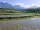 Rice Paddy Fields in Centre of the Island, Bali, Indonesia, Southeast Asia