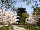 Toji Pagoda, Unesco World Heritage Site, Spring Cherry Blossom, Kyoto City, Honshu Island, Japan