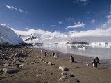 Gentoo Penguins, Neko Harbor, Gerlache Strait, Antarctic Peninsula, Antarctica, Polar Regions