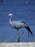 Blue Crane, Anthropoides Paradisea, Etosha National Park, Namibia, Africa