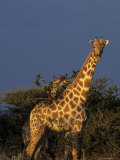 Giraffe, Giraffa Camelopardalis, Erongo Region, Namibia, Africa