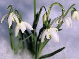 Snowdrops, Galanthus Nivalis, Bielefeld, Germany