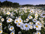 Daisy, Leucanthemum Vernale, Hiller Moor, Luebbecke, Germany