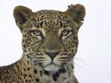 Leopard (Panthera Pardus), Samburu Game Reserve, Kenya, East Africa, Africa