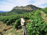 Vineyards, Patrimonio Area, Corsica, France