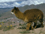 Alpaca, Cuzco, Peru, South America