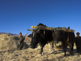 Boys Threshing with Oxen, Bamiyan, Bamiyan Province, Afghanistan