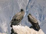 Two Condors at Cruz Del Condor, Colca Canyon, Peru, South America