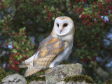 Barn Owl (Tyto Alba), on Dry Stone Wall with Hawthorn Berries in Late Summer, Captive, England