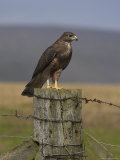 Bzzard (Buteo Buteo) on Fence Post, Captive, Cumbria, England, United Kingdom