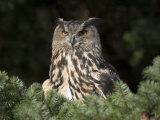 European Eagle Owl, Bubo Bubo, Female, Captive, World Owl Trust, Muncaster Castle, Cumbria