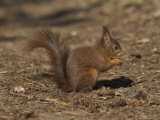Red Squirrel, Sciurus Vulgaris, Formby, Liverpool, England, United Kingdom