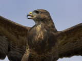 Close-Up of a Buzzard (Buteo Buteo), Captive, Cumbria, England, United Kingdom